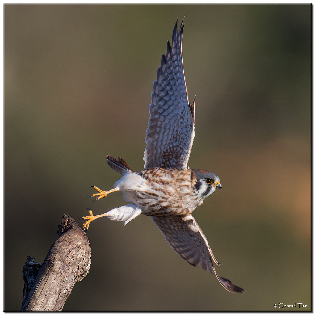Photograph American Kestrel Take-off! by Conrad Tan on 500px