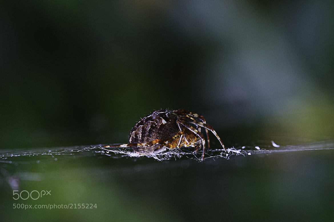 Photograph Spider by Edwin Schut on 500px