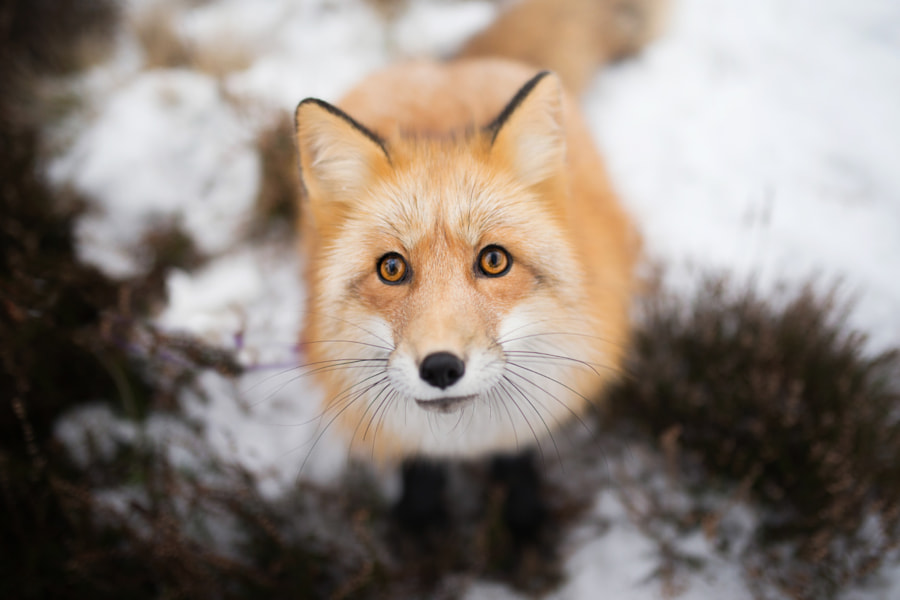 Wildlife Photo, Fox Portrait by nature photographer Iza Łysoń on 500px.com