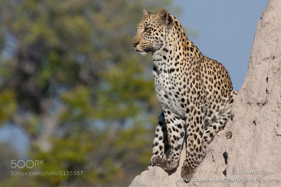 Male leopard on a termite mound in the Okavango Delta. He was hunting Warthog, and using the mound as a good vantage point.