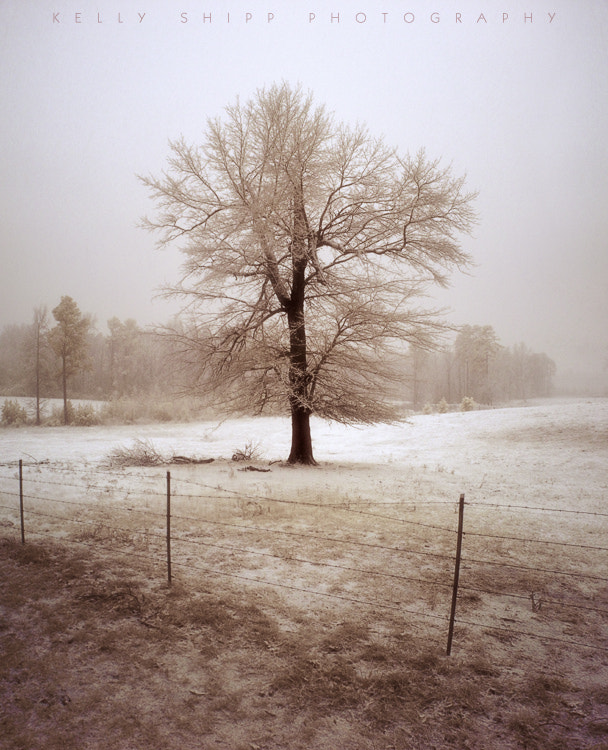 Photograph Tree in Snow, Christmas 2012 by Kelly Shipp on 500px
