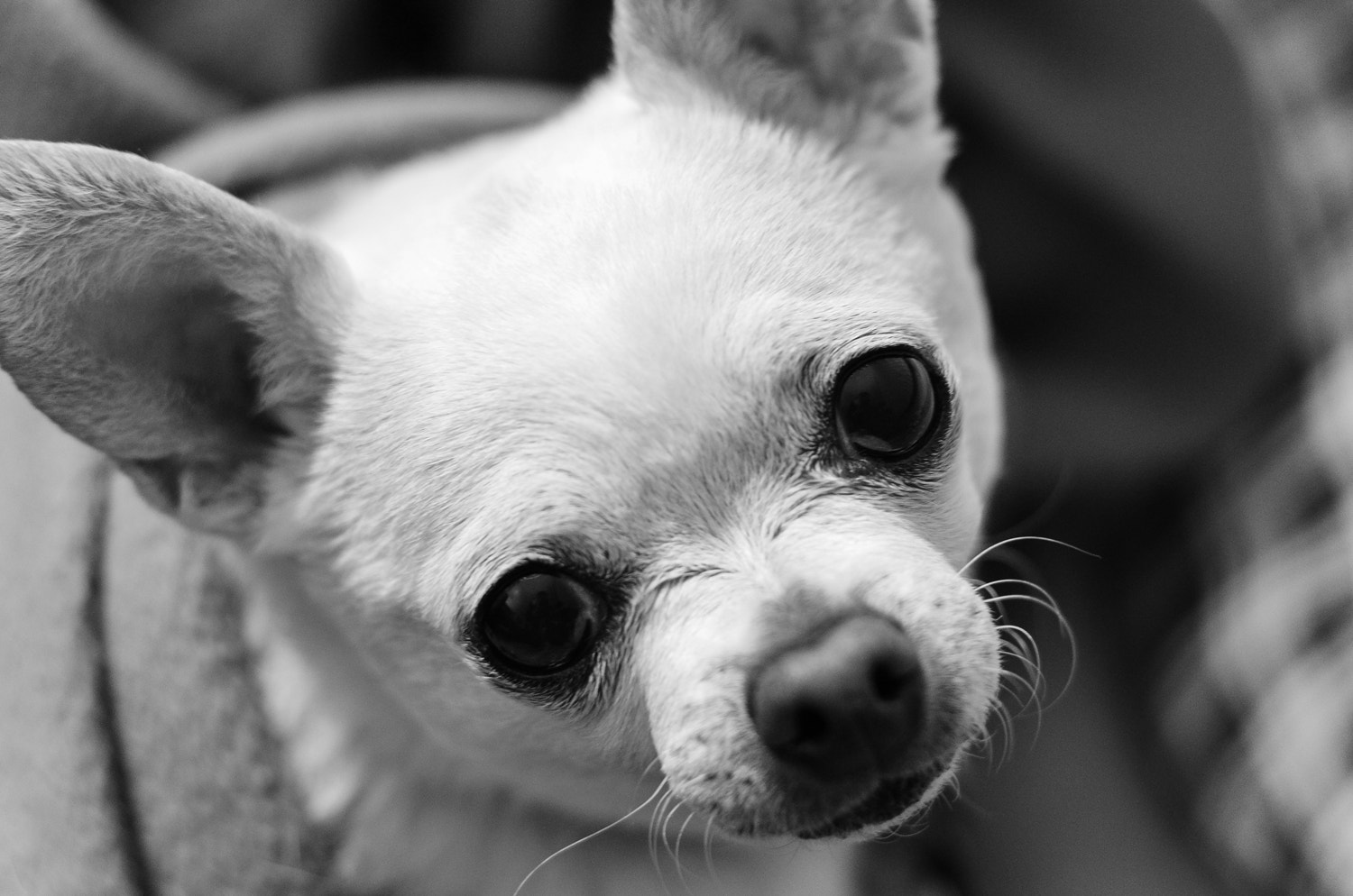 Photograph Sweetie The Chihuahua by Bill Twomey on 500px