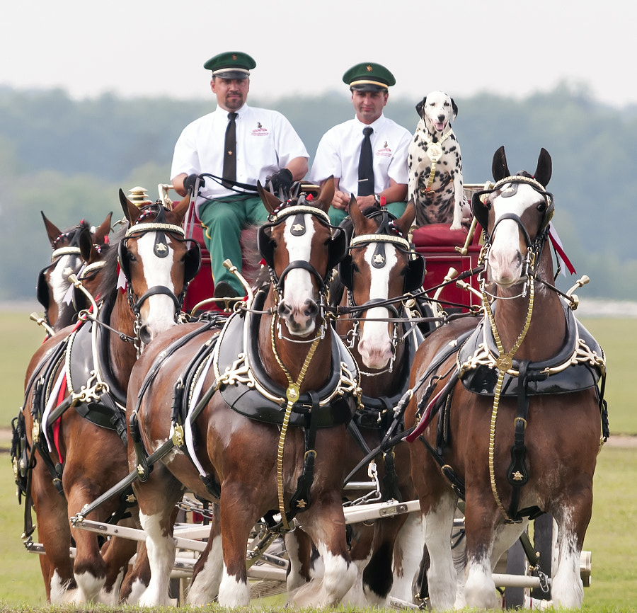 The Budweiser Clydesdale horse team