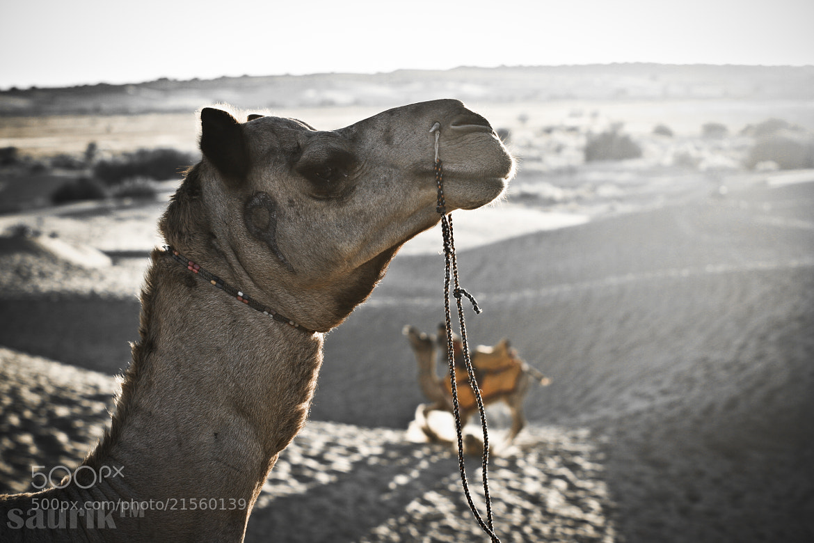 Photograph The Camel ride/safari by saurik s shah on 500px