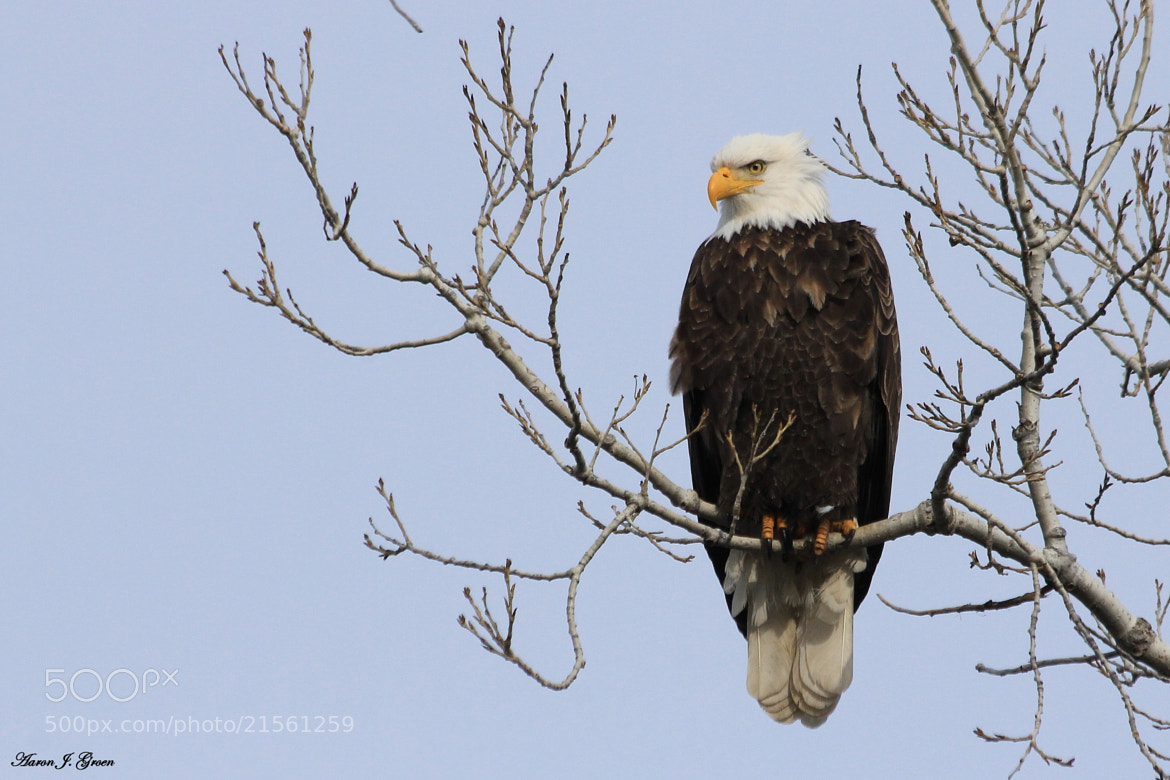 Photograph Bald Eagle by Aaron J. Groen on 500px