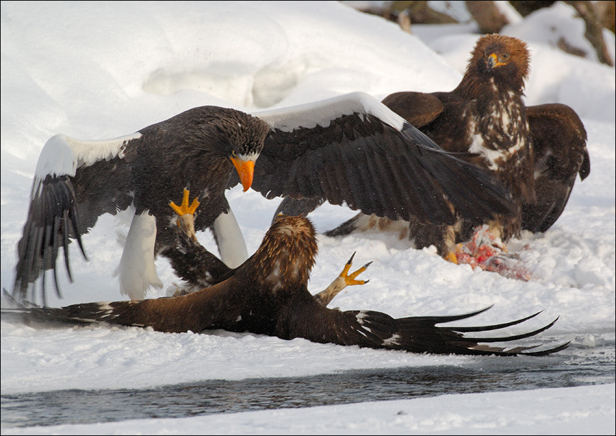 Photograph Big birds fight. by Igor Shpilenok on 500px