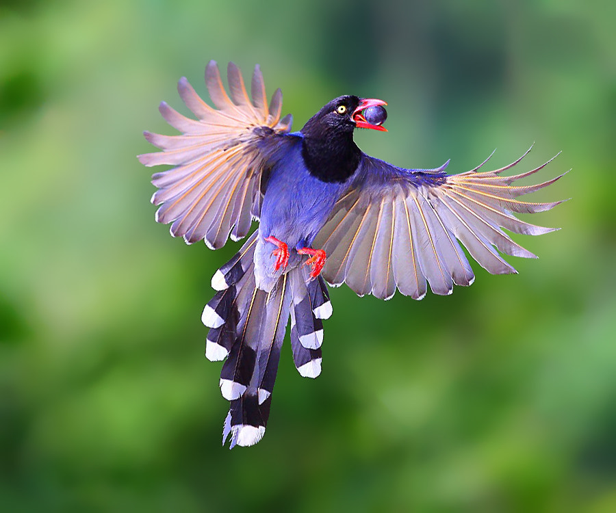 Photograph { Formosan Blue Magpie } by Dajan Chiou on 500px