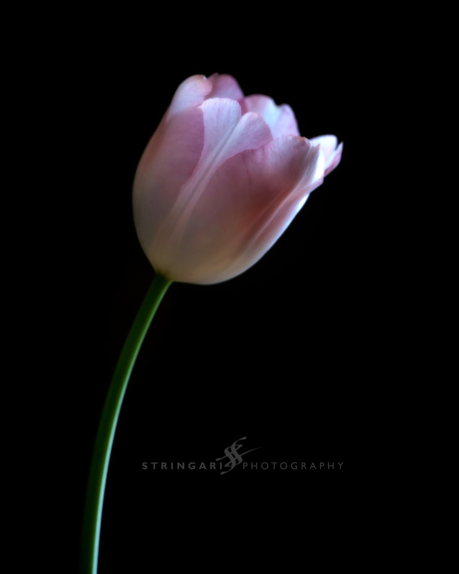 Photograph Solitary Tulip by Carla Stringari Pudler on 500px