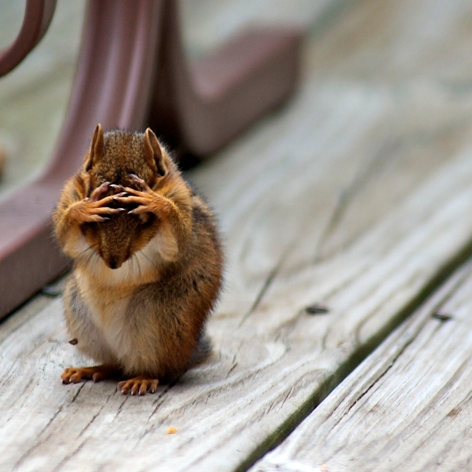 Photograph Confused Chipmunk by Michael Holliday on 500px