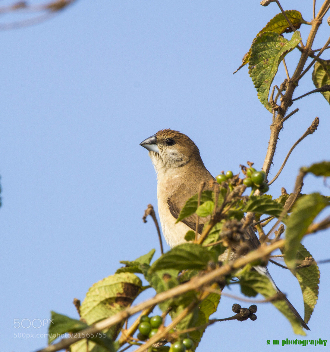 Photograph Indian Silverbill.. by Santosh Mulik on 500px