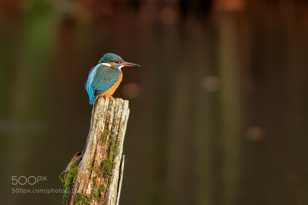 Photograph kingfisher by wise photographie on 500px
