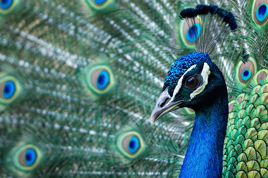 Photograph Peacock by Stéphane ABCDEF on 500px