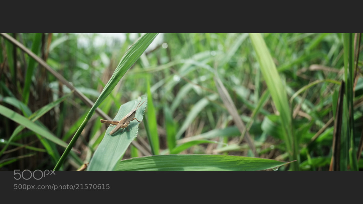 Photograph Grasshopper on the Green by Adianto Adi on 500px