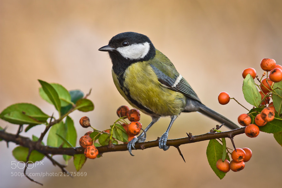 Photograph Great tit by Felix de Vega on 500px