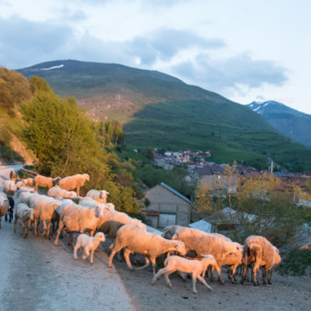 Sheep in Dragash, Kosovo