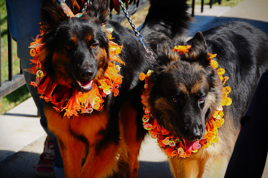 German Shepards at Festival