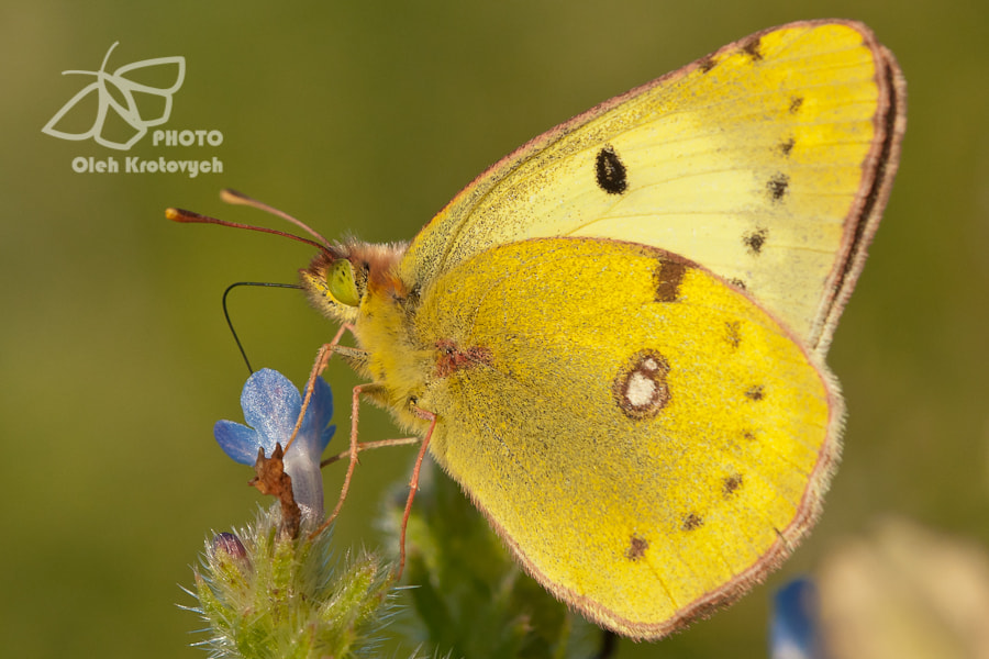 Photograph The Pale Clouded Yellow by Oleh Krotovych on 500px
