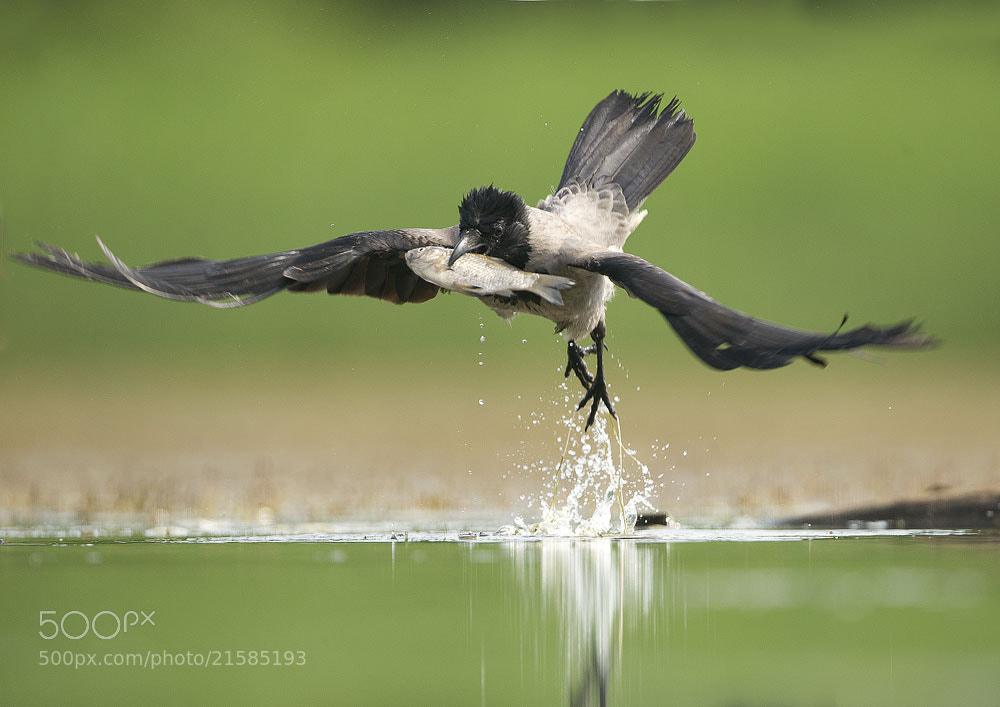 Photograph Hooded Crow by Mirek Zítek on 500px