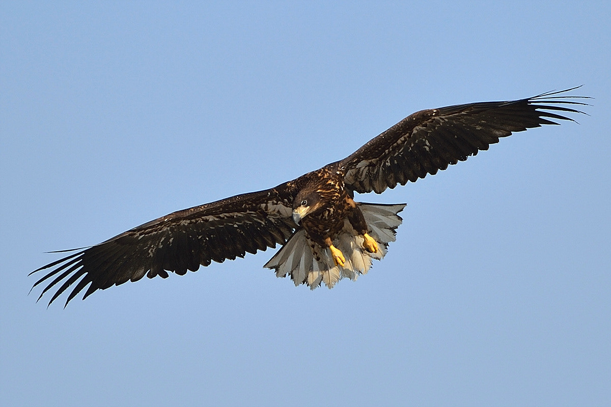Photograph White-tailed Eagle by Young Sung Bae on 500px