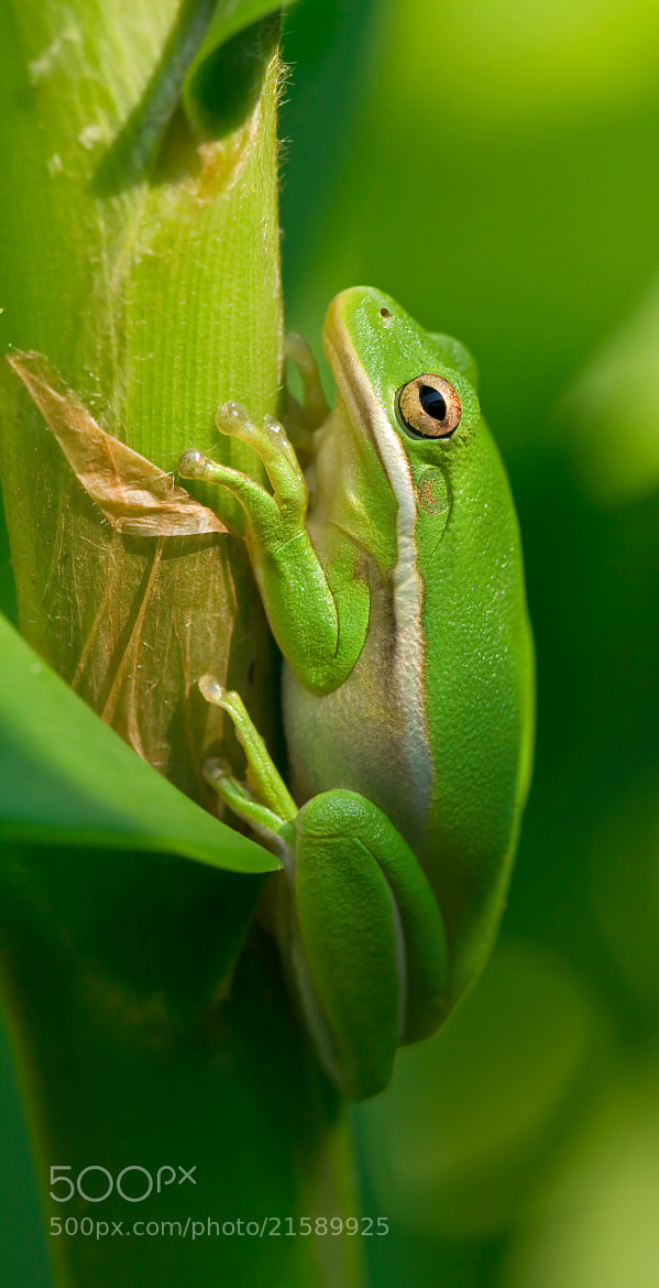 Photograph Green Tree Frog by Lorraine Hudgins on 500px
