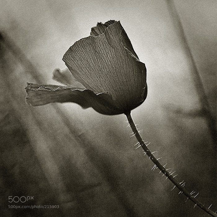 Photograph poppy in the wind by xavi cardell on 500px