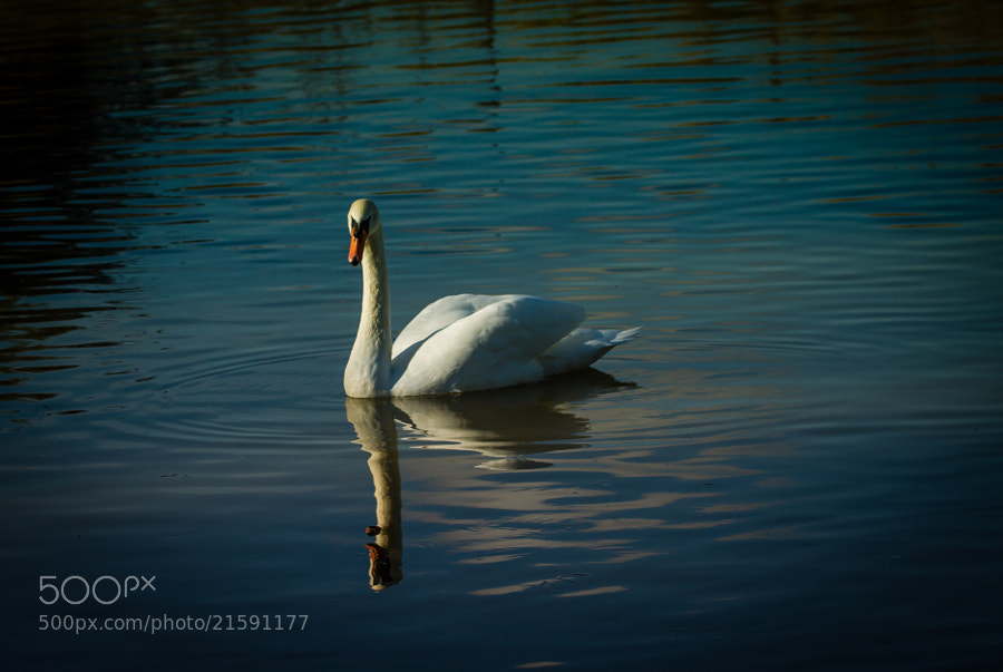 Photograph white swan by  Clotilde Hulin on 500px
