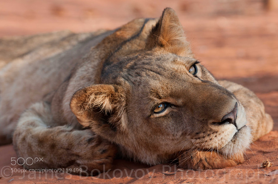 A young lioness relaxing the sands of Zambia. This is a captive lion that is currently in a reintroduction program at Mukuni Safari & Lion Walk in Livingstone, Zambia. I highly recommend this experience and also it benefits the future of big cats in Africa.