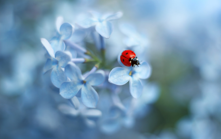 Nature photo Ladybug by nature photographer Elena Andreeva on 500px.com