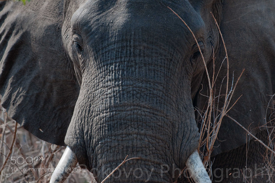 A elephant watches through the tall, dry grasses of southern Zambia.