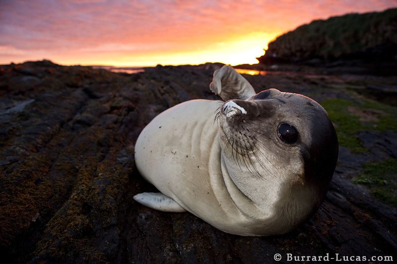 An elephant seal pup resting on the rocks at sunset.