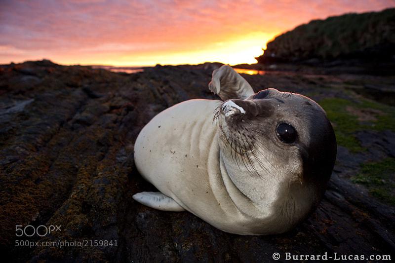 "An elephant seal pup resting on the rocks at sunset.  - More <a href=""http://www.burrard-lucas.com/falklands/"">Falkland Island photos</a>"