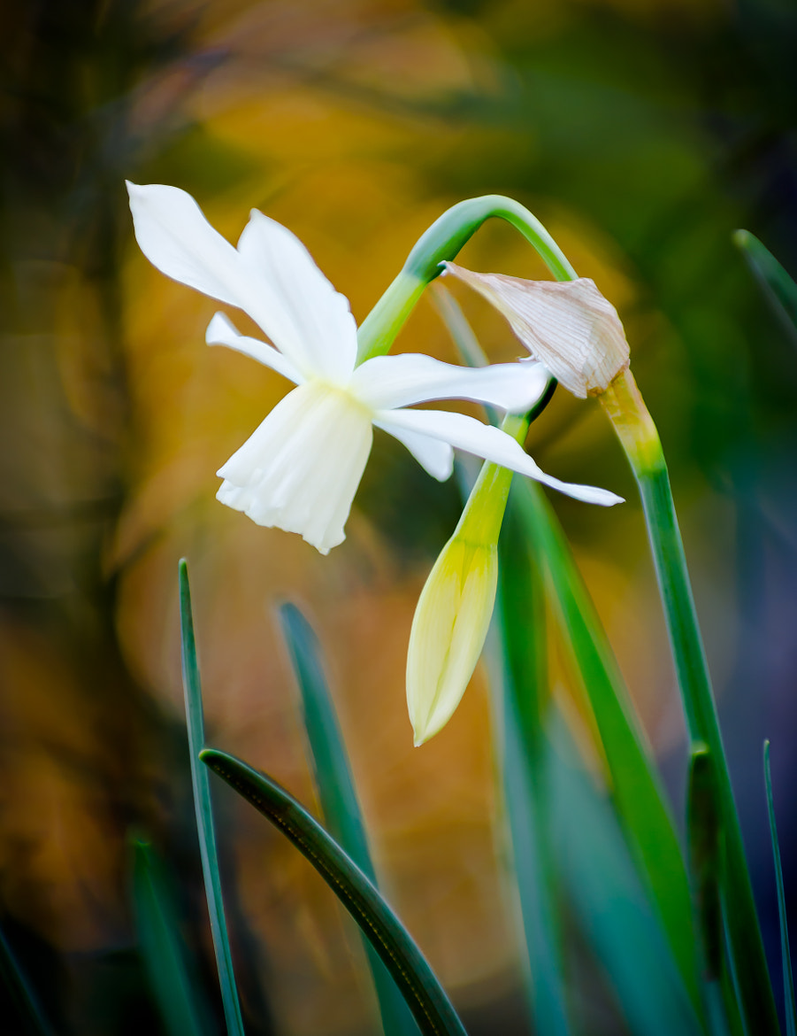 Photograph Narcissi in Spring by John C. on 500px