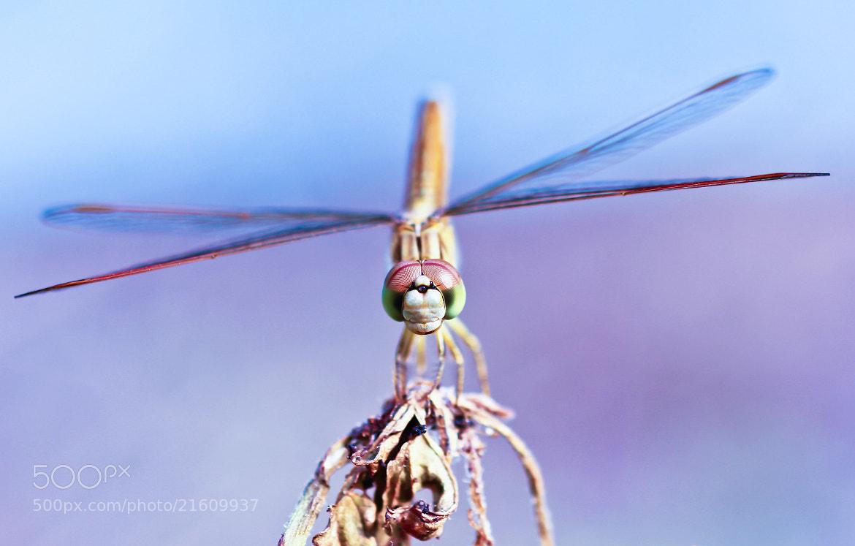Photograph Dragonfly by OKAWA โอ๋กะหว้า. somchai on 500px