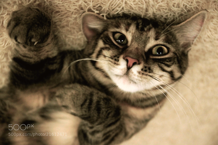 Photograph Tiger Cat - processed by Nime Cloud on 500px