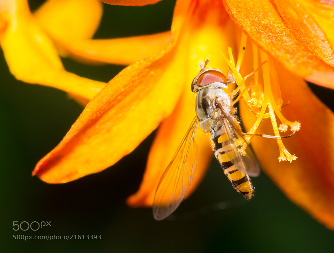 Photograph Hoverfly on Crocosmia by John C. on 500px