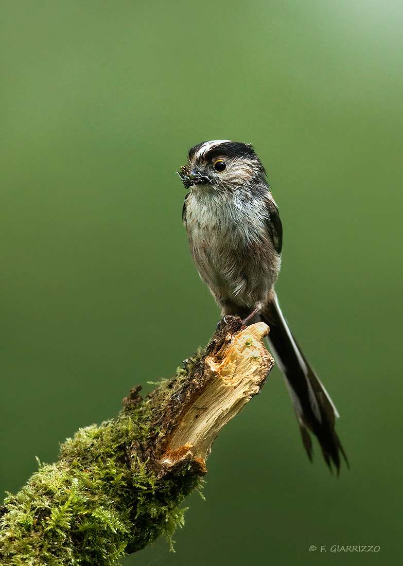 Photograph Long tailed tit by Fabio Giarrizzo on 500px
