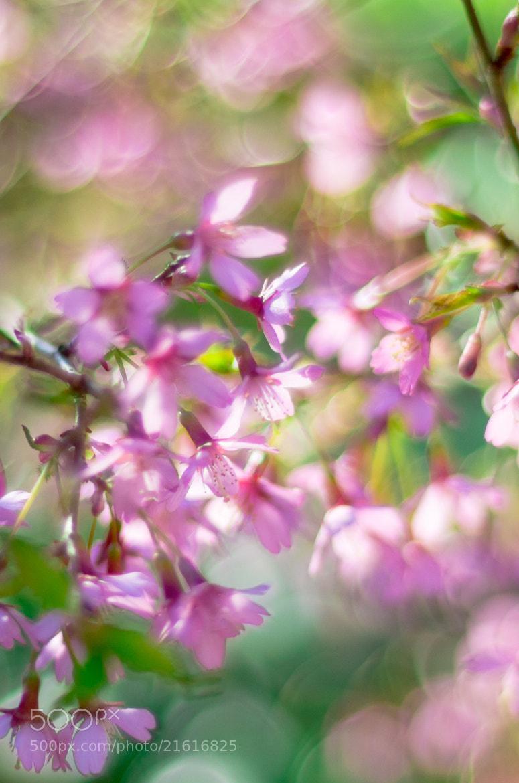 Photograph Sunlight on Cherry Blossom by John C. on 500px