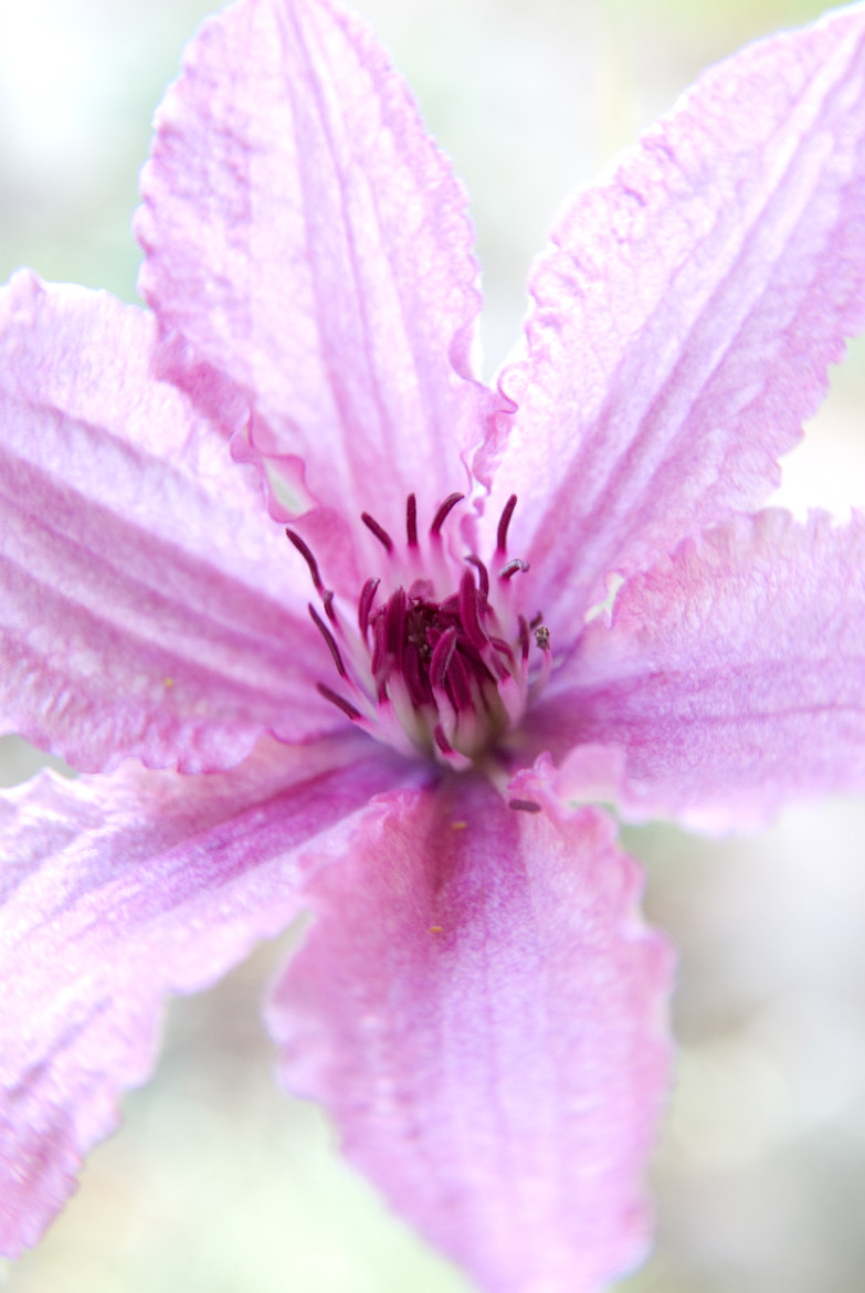 Photograph Clematis Flower by John C. on 500px
