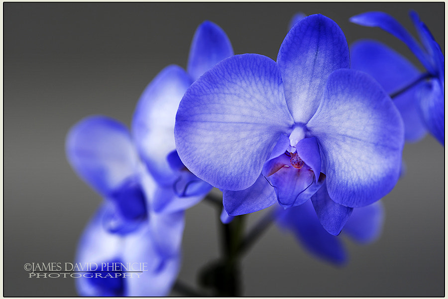 Lilac Amethyst Orchid Series #3