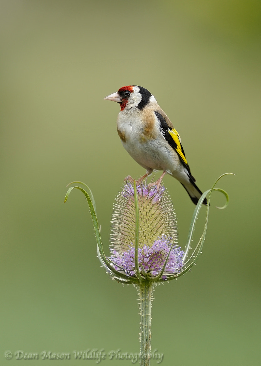 Photograph Goldfinch on Teasel  by Dean Mason on 500px