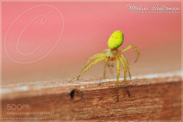 Photograph Spider (1) by Malin Hultman on 500px