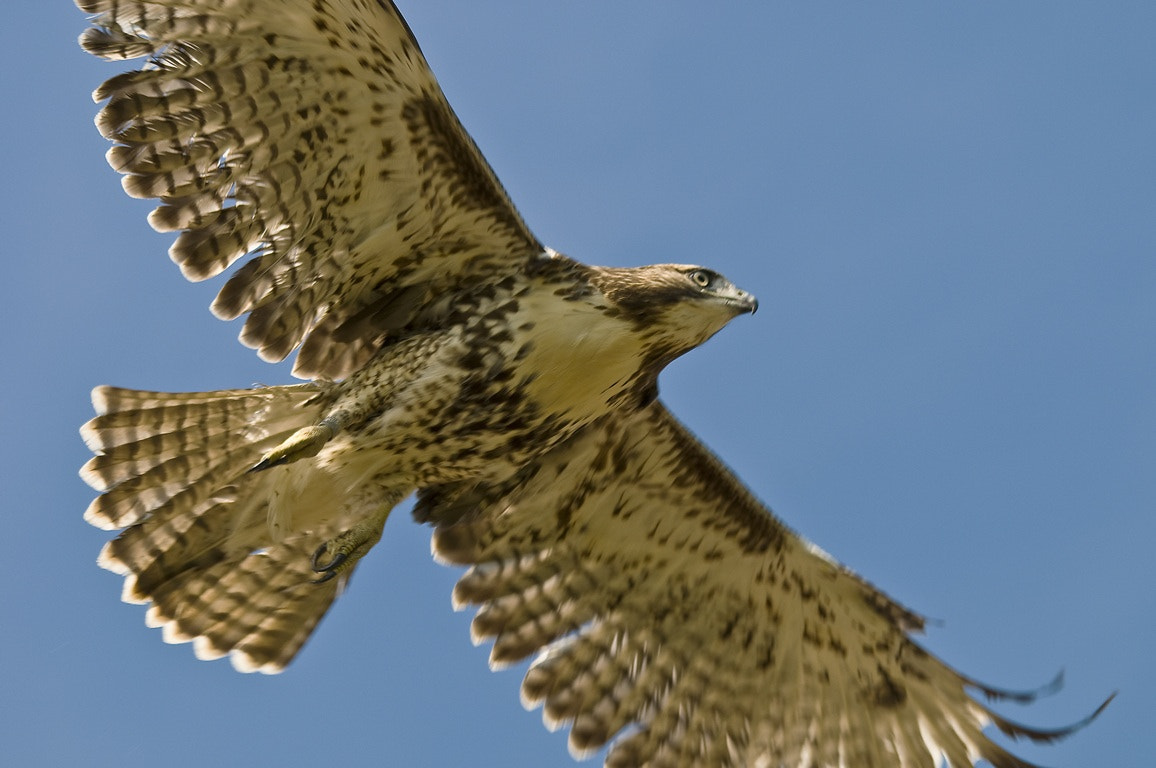 Photograph Immature Red-tailed Hawk by Mark Mathison on 500px