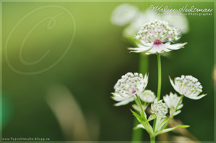 Photograph Flower (3) by Malin Hultman on 500px
