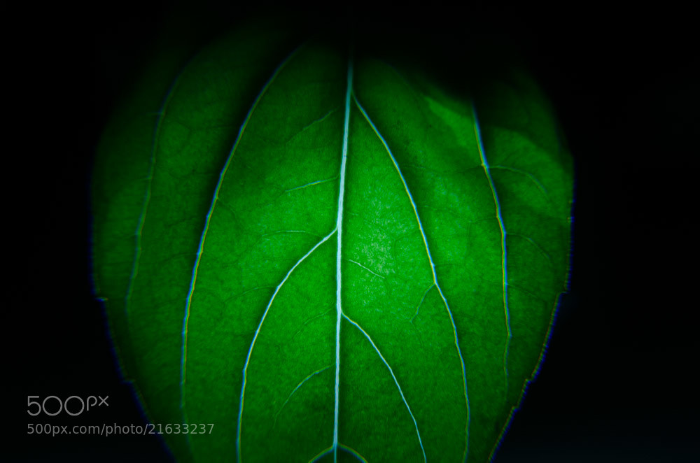 Photograph Basil Leaf by Ryan Perez on 500px
