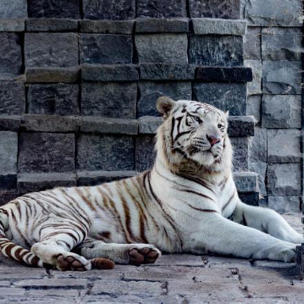 white tiger - pairi daiza