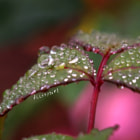 Rose Leaf Drips