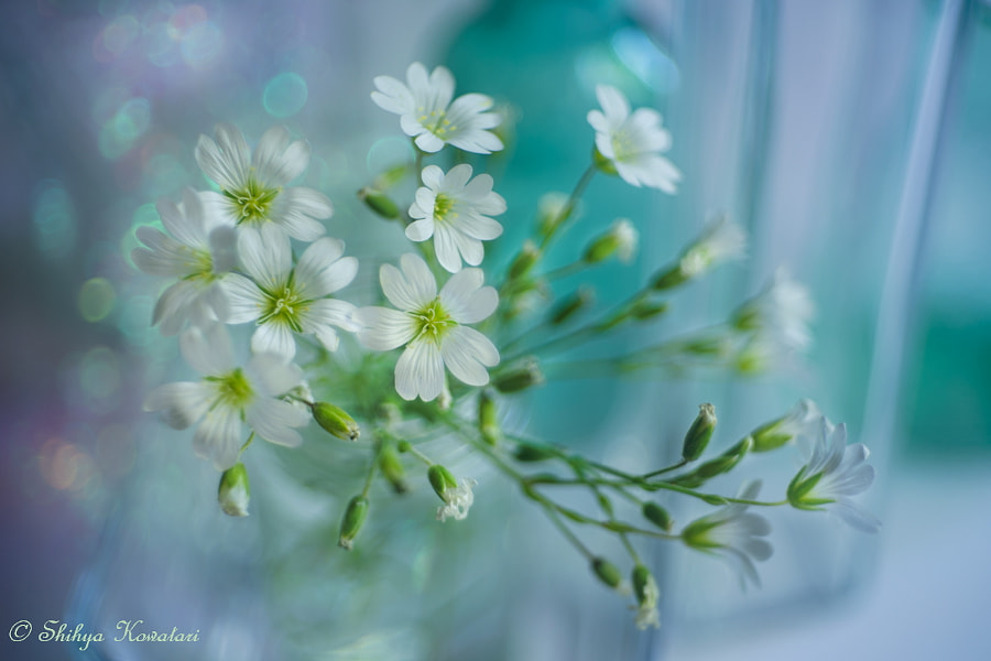 Nature Photo Early Summer White by Nature Photographer Shihya Kowatari on 500px.com