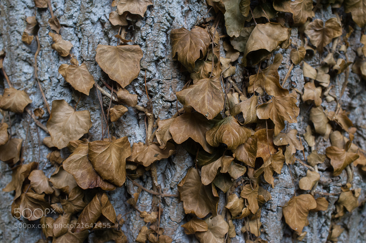 Photograph Dead Ivy by Guy Swarbrick on 500px