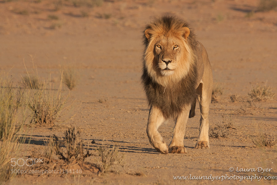 Black- maned Kalahari lion early one morning in the Kgalagadi Transfrontier park.