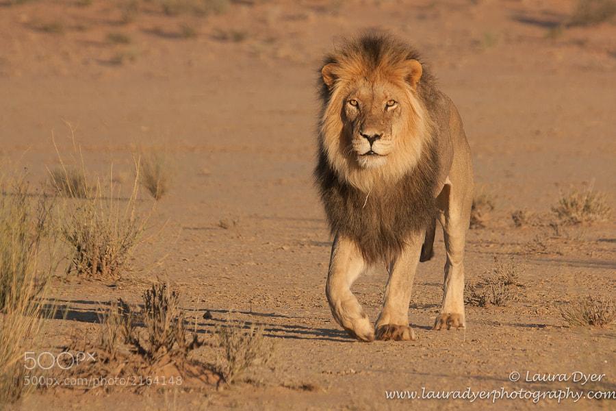Black- maned Kalahari lion early one morning in the Kgalagadi Transfrontier park.